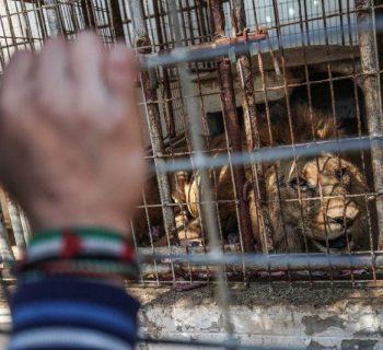 Lions, other animals to be saved from Gaza zoo: welfare group